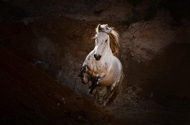 Weißes Pferd galoppiert in der Sandgrube